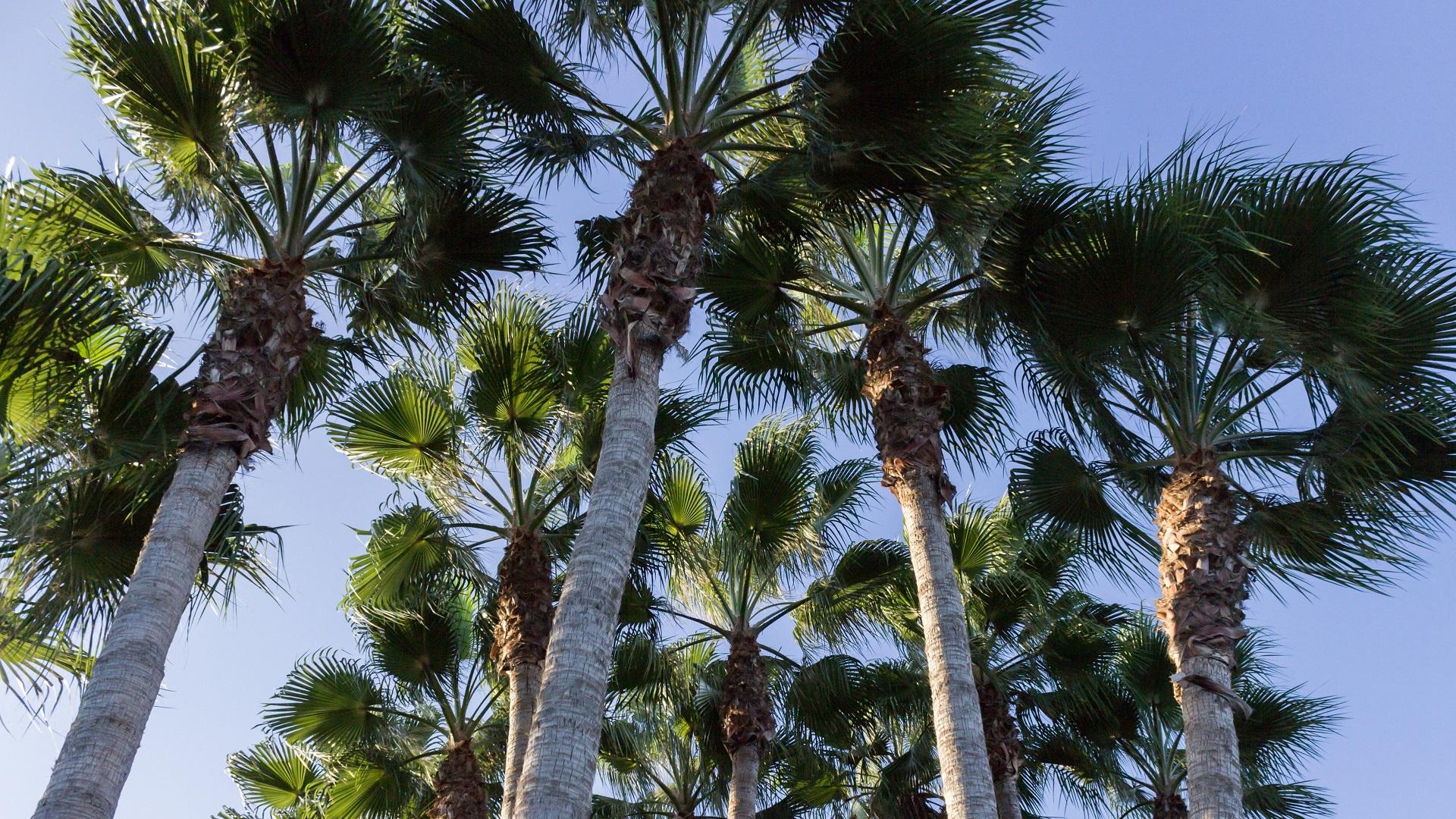 Palmbomen in Limassol, Cyprus