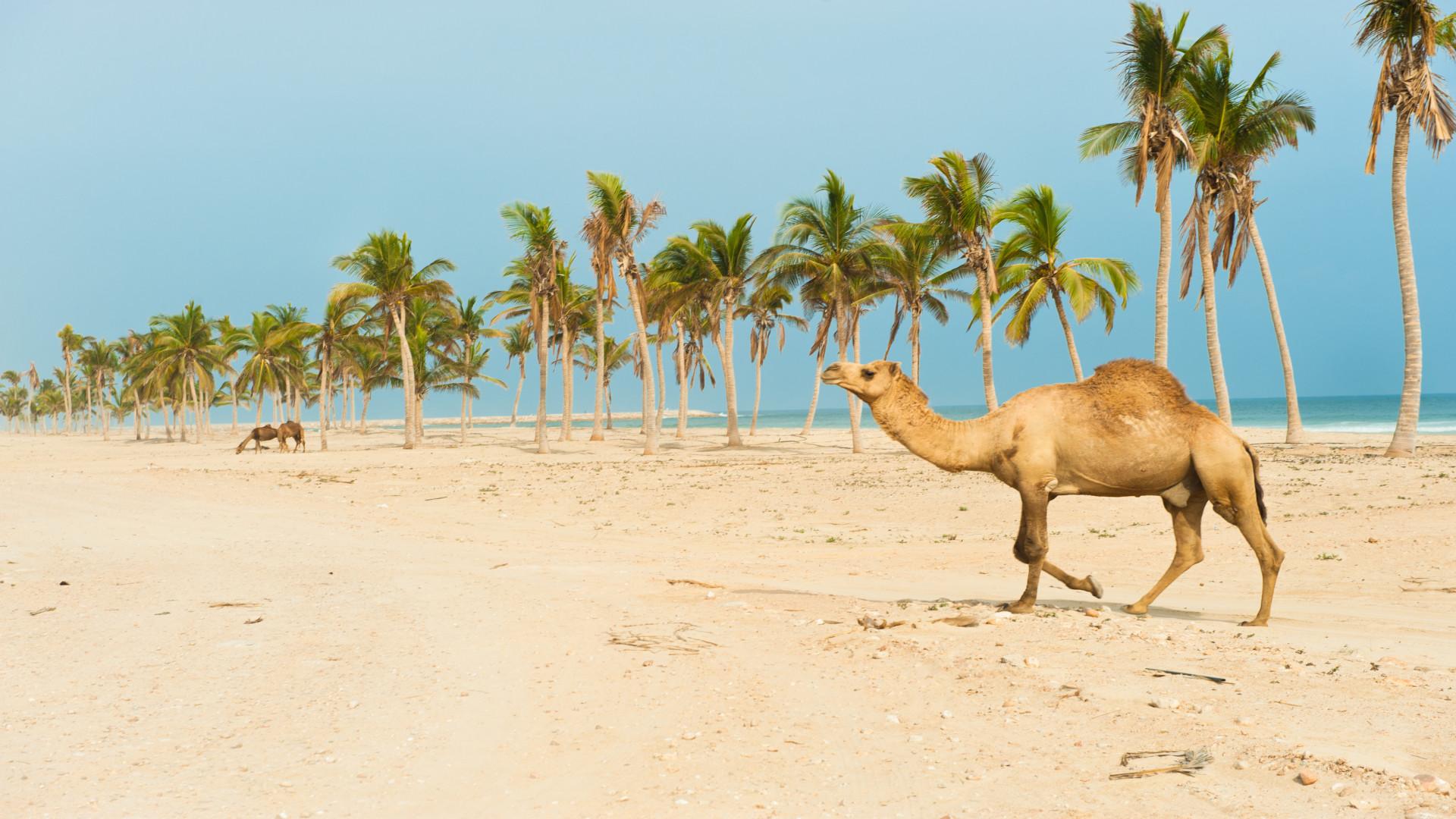 Kameel op strand met palmbomen, Salalah, Dhofar, Oman