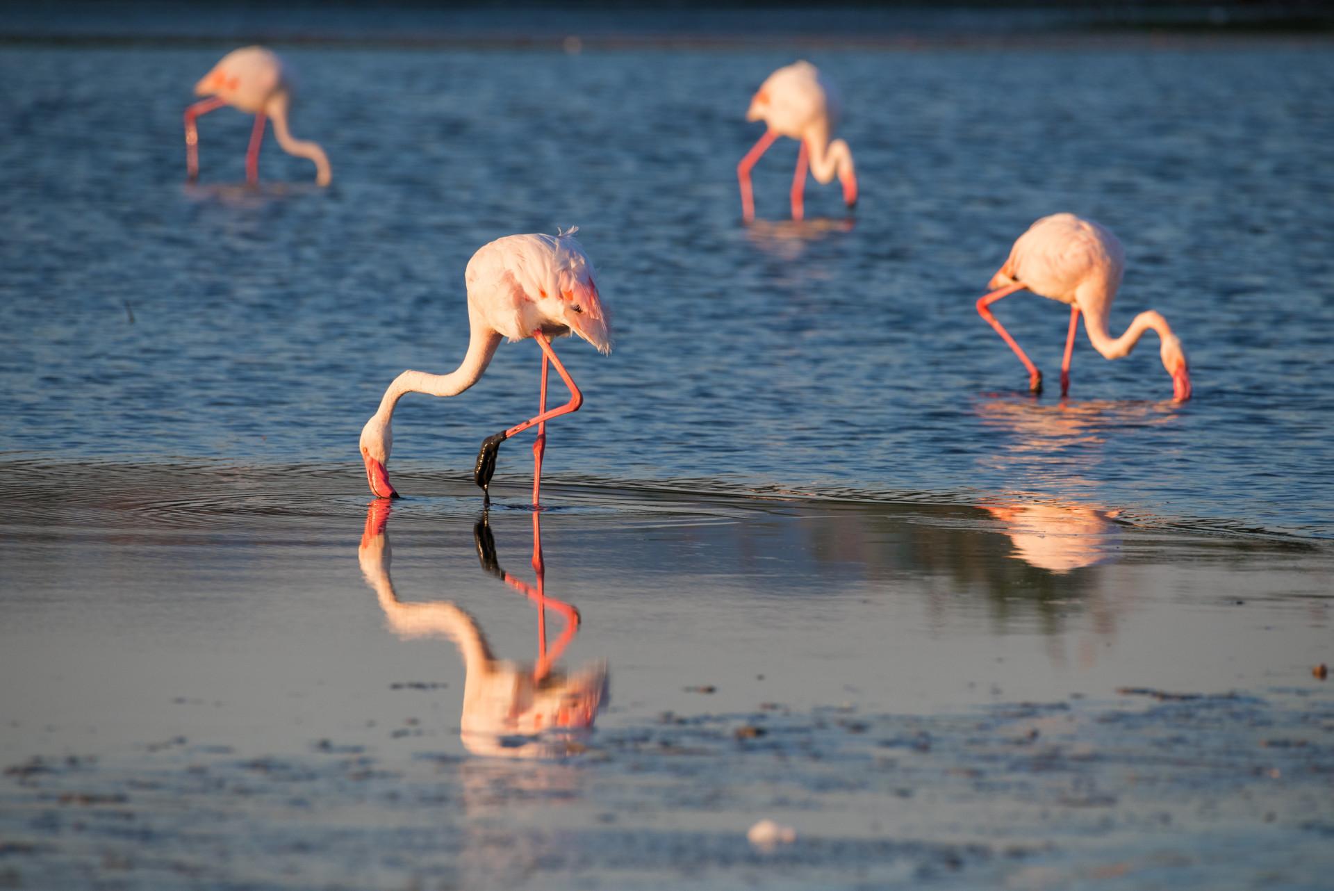 Flamingo's op Sardinië - Italië
