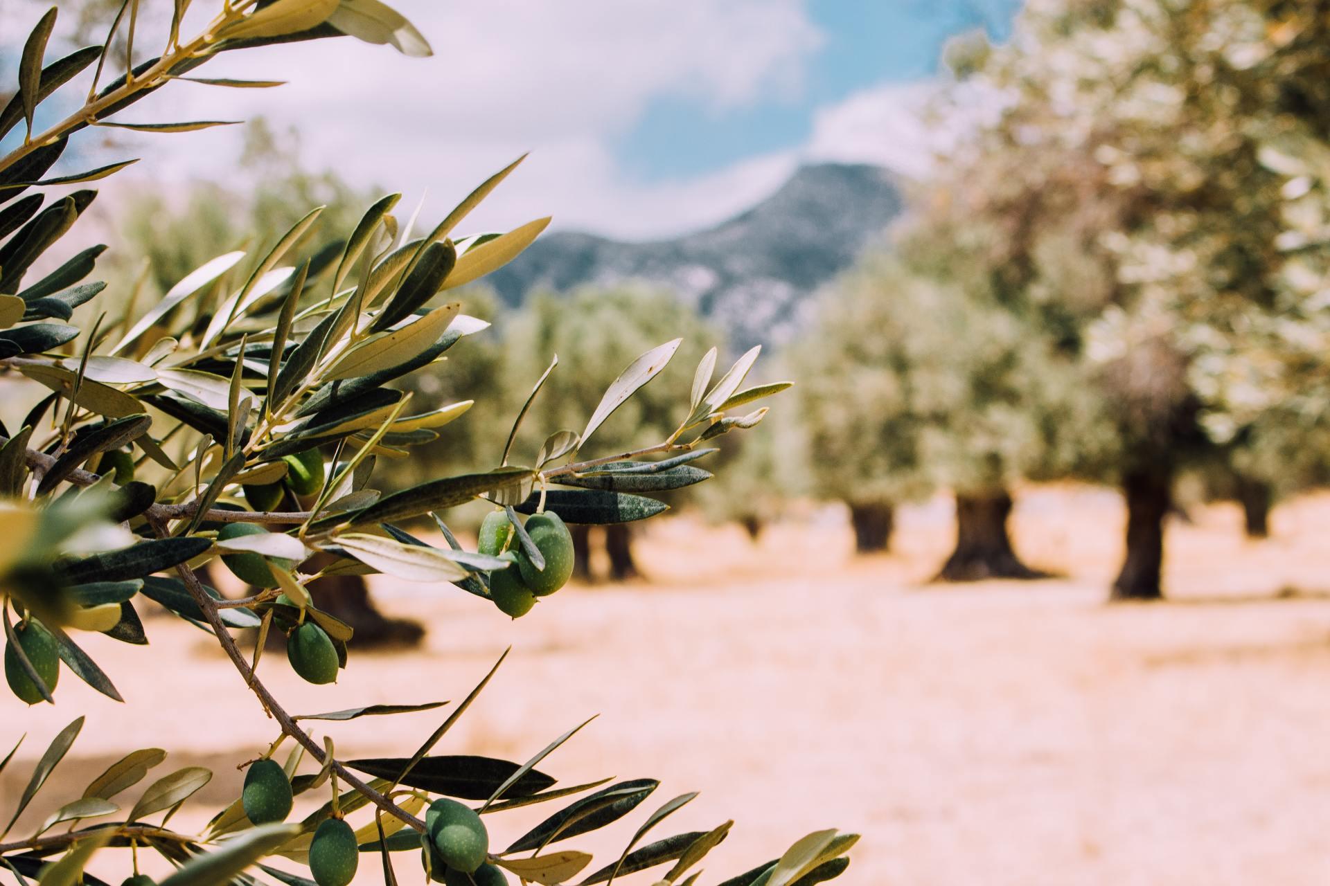 Een prachtig veld met olijfbomen