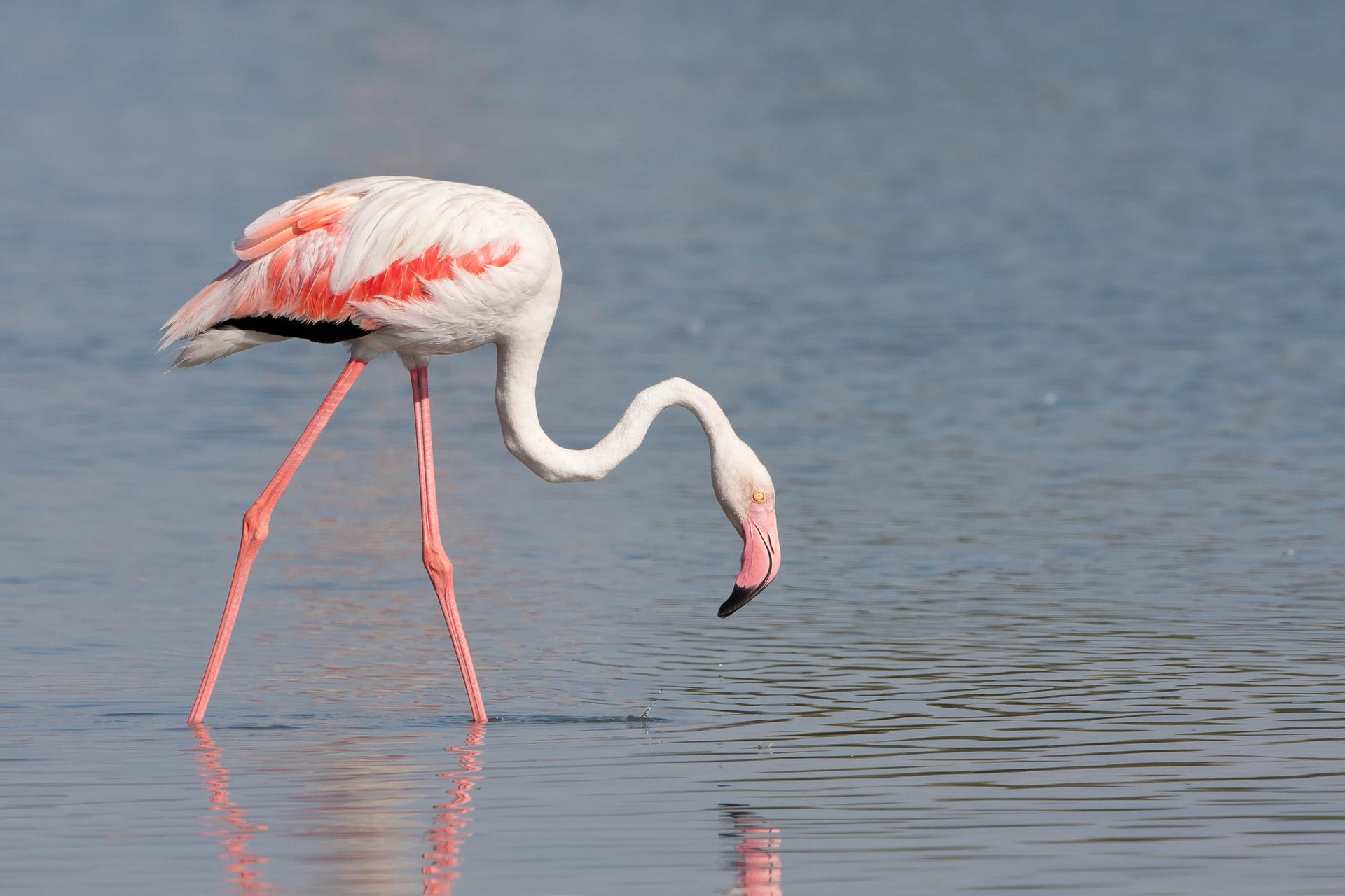 Een roze flamingo op het strand van Oman