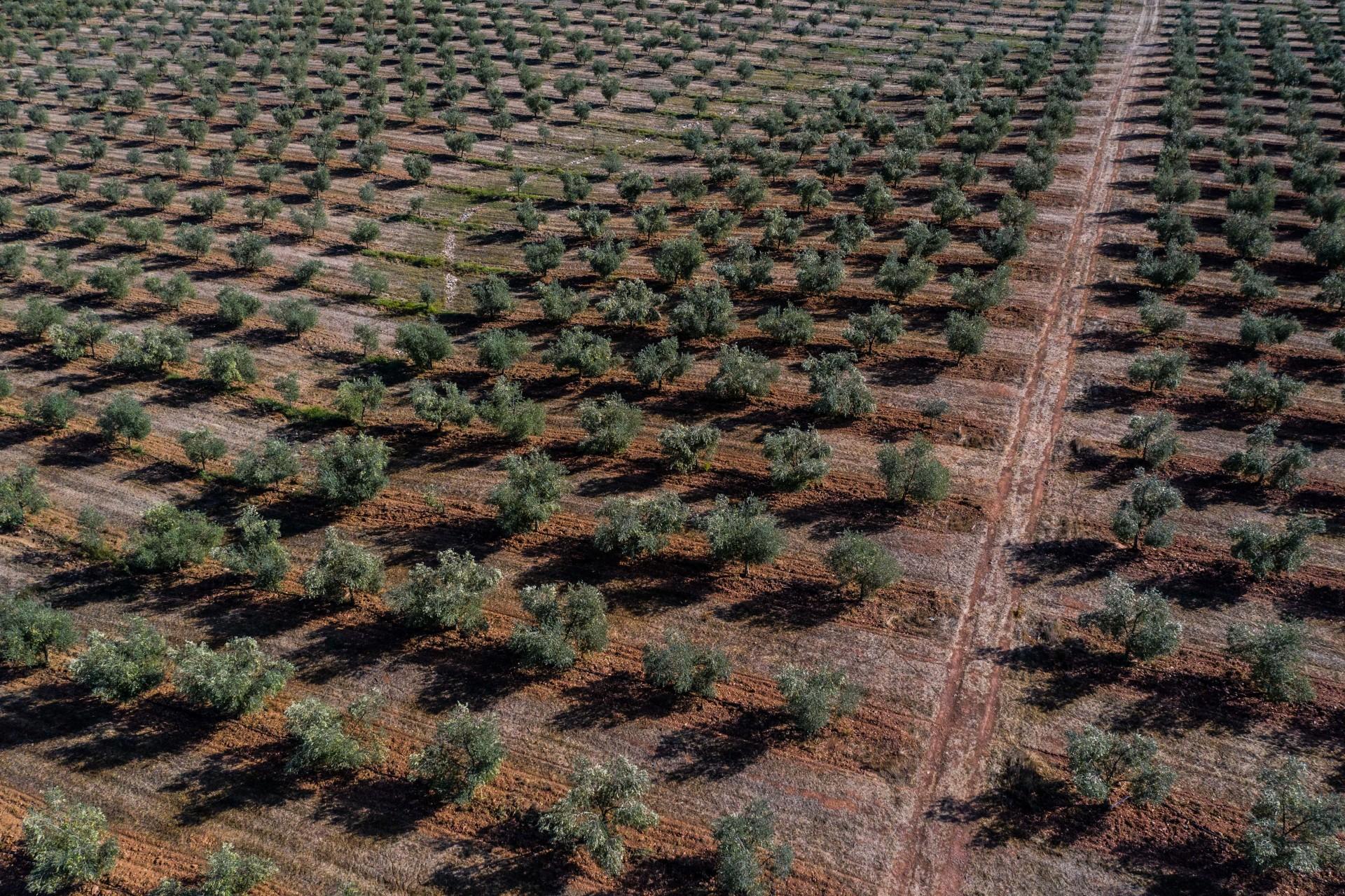 Olijfbomen Alentejo Portugal &Olives Travel olijfbomen planten