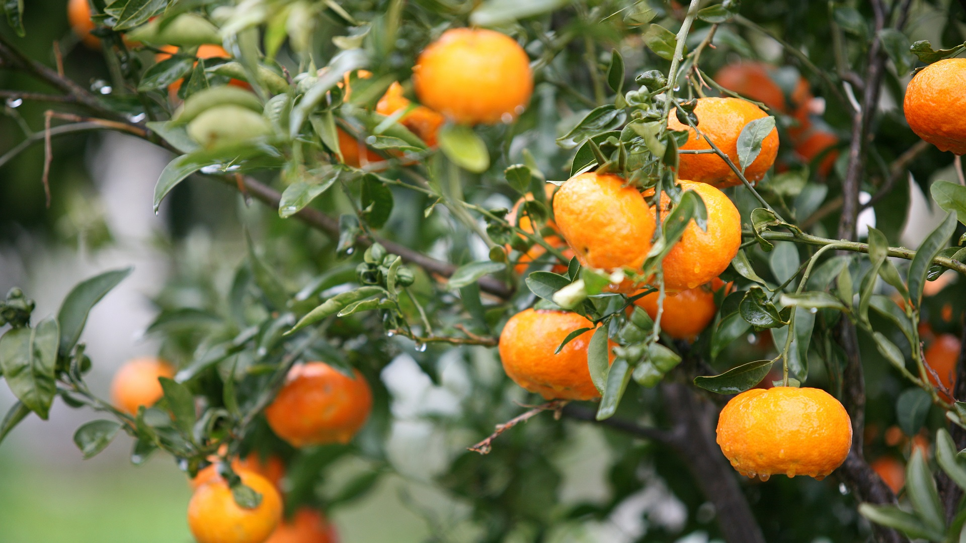 Sinaasappelen in de boom op Kreta