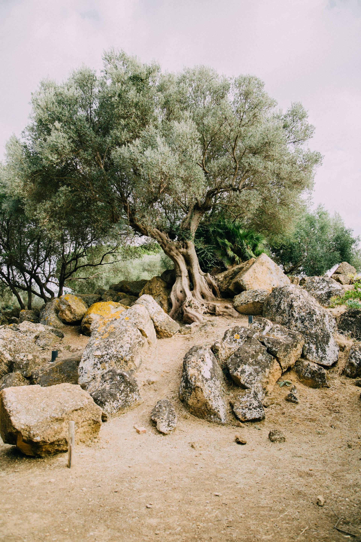Een prachtige oude olijfboom op Sicilië, Itali