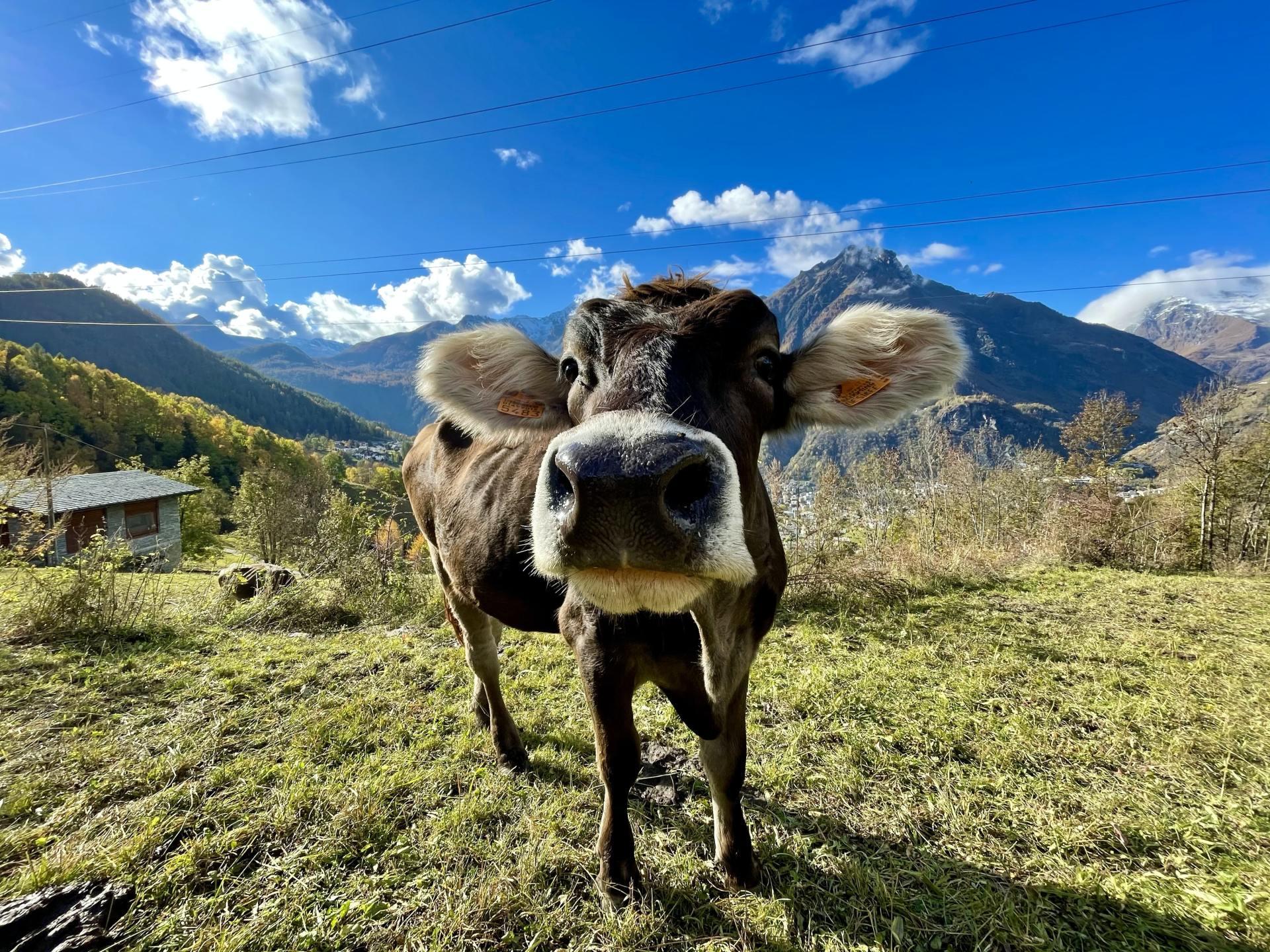 Koe op berg in Piemonte