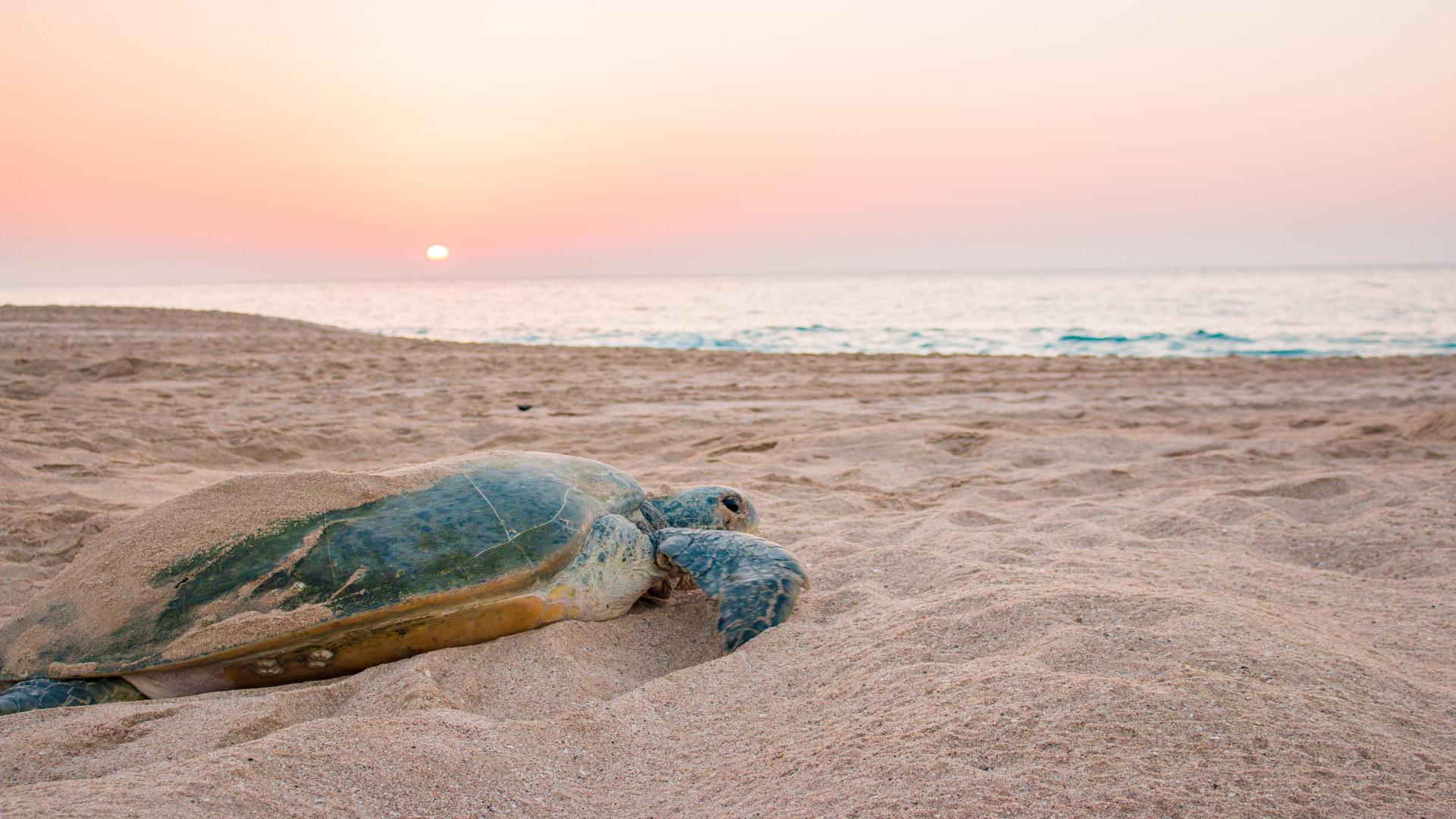 Schildpad op het strand van het Raz al Jinz Turtle Reserve in Sur tijdens zonsopkomst, Oman