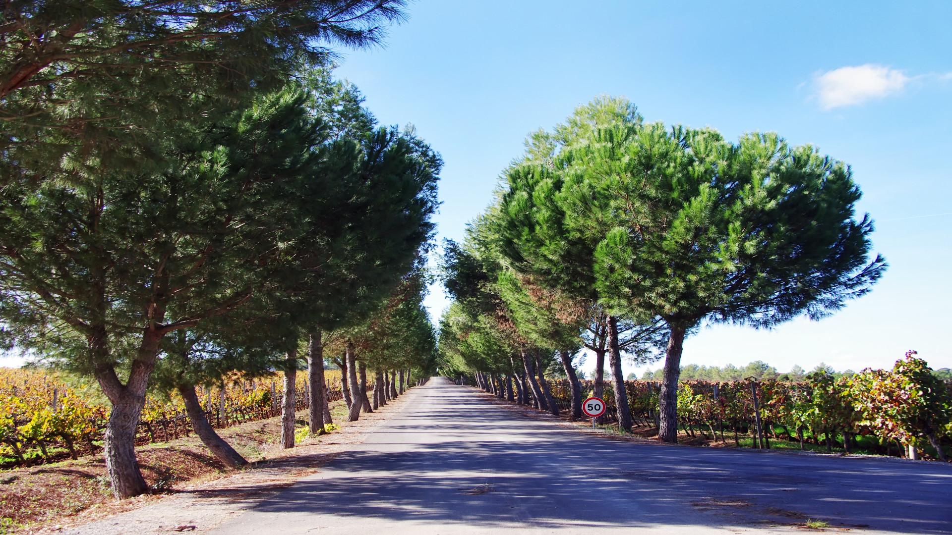 Dennenbomen, Oude Weg, Alentejo Portugal
