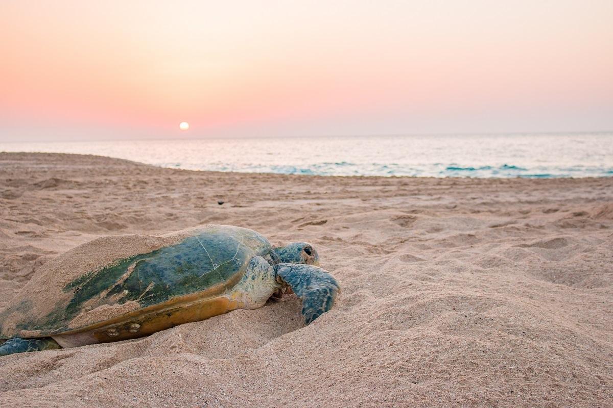 Oman - Schildpad
