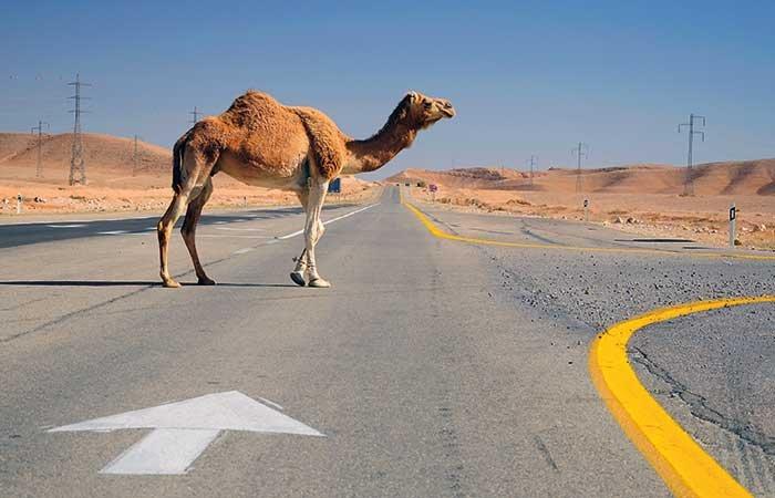 Kameel op de weg in de Negev woestijn