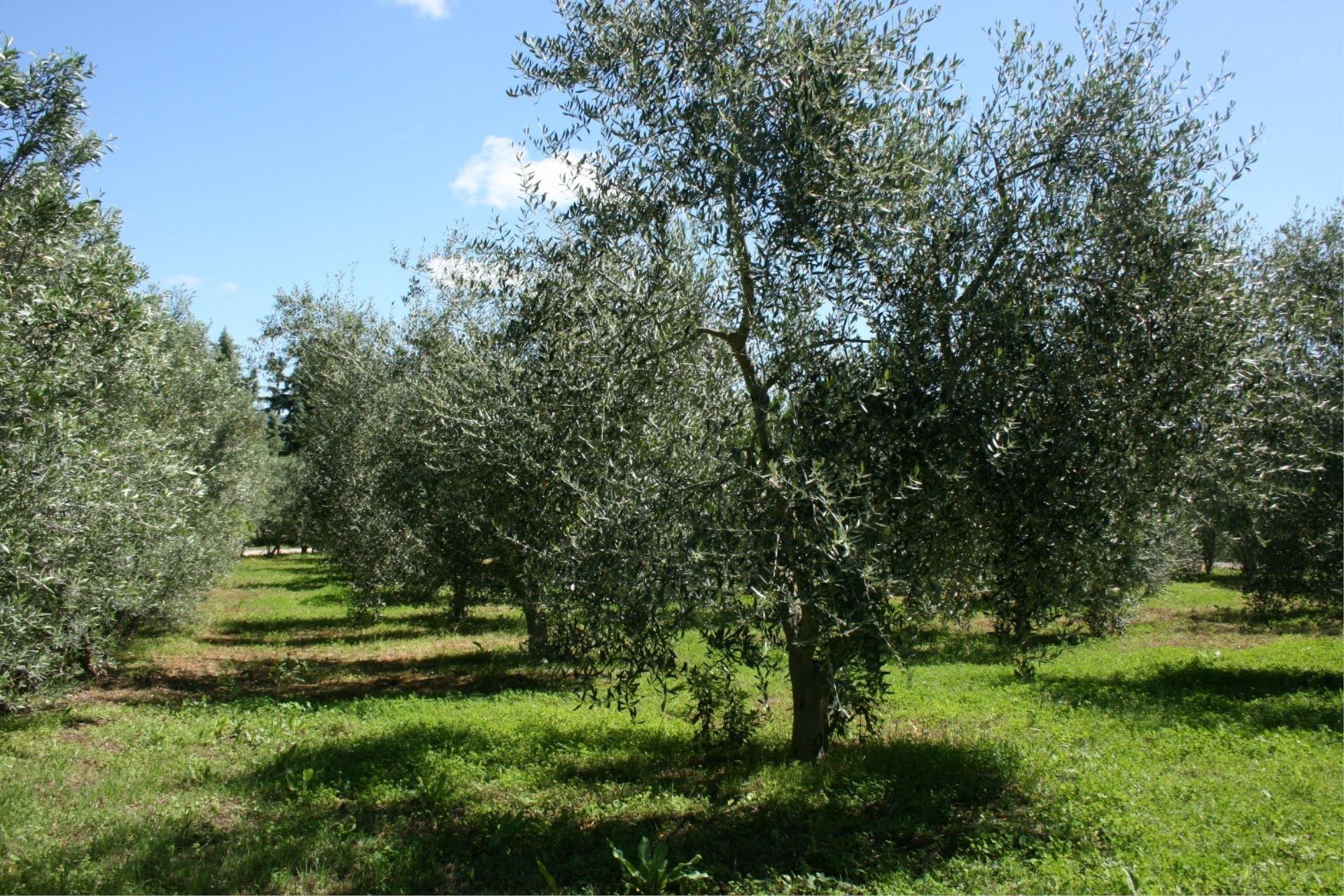 santa maria olijfboomgaard