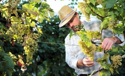 Paros - wijngaard