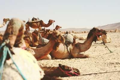 Kamelen in de woestijn van Israël