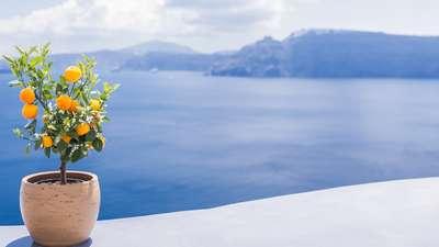 Een boompje op het Griekse eiland Santorini