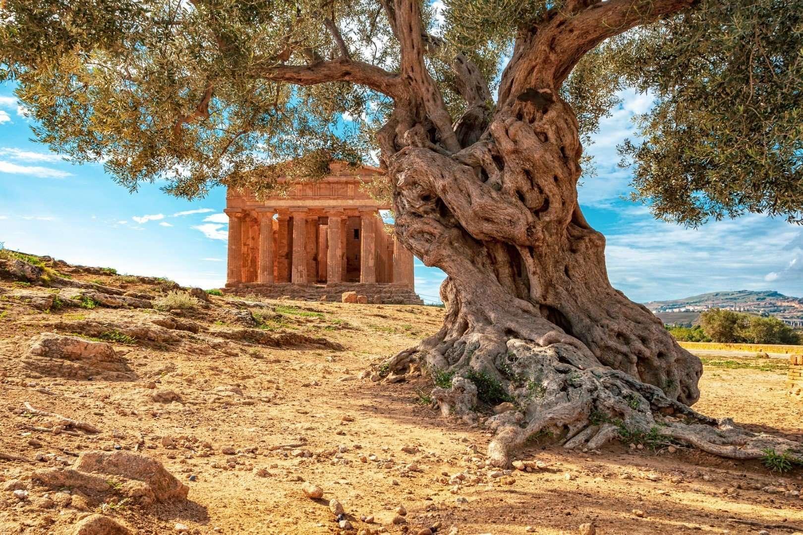 agrigento - tempelvallei met grote olijfboom